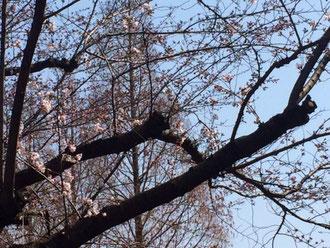 ☆昨日の暖かさで桜が咲きました。