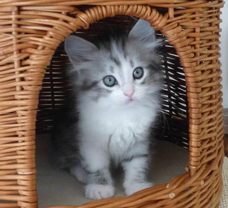 mon chat siberien