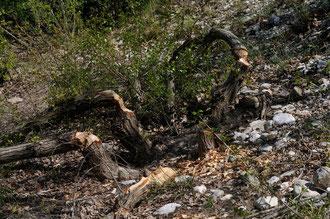 Bois coupés par des castors - Cornillon (26) - 01/05/2009