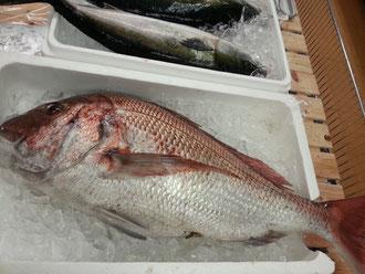 4.7キロ、大分県産天然真鯛