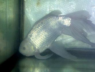 白いけど金魚…(苦笑)
