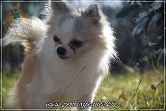 prix d un chihuahua lof - Élevage de Chihuahua