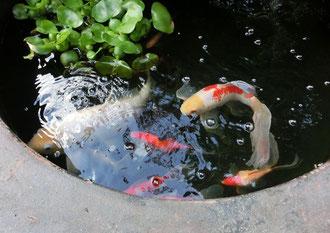 緋鯉と金魚の間に子供