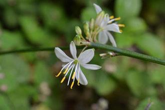 オリヅル蘭の花
