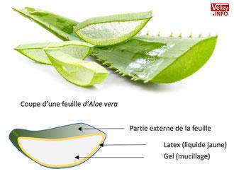 Coupe d'une feuille d'Aloe vera.