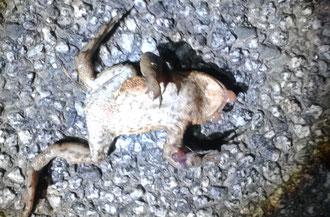 Tote Erdkröte: Die Druckwelle vorbeifahrender Fahrzeuge lässt die inneren Organe platzen. NABU/ Britta Böhringer-Retter
