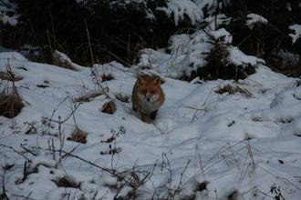Der Fuchs in der eisigen Kälte am 10. Febr. 2012  / es