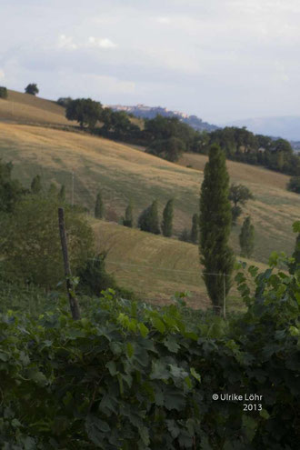 auch hier wächst der Verdidchio di Matelica