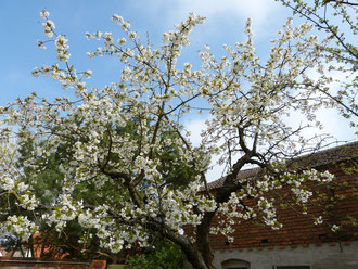 Der Kirschbaum auf dem Ökohof Fläming steht im März schon in voller Blüte und wird eifrig durch die Bienen beflogen, welche aus dem ersten Nektar schon Honig erzeugen.