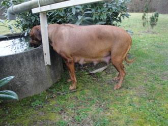 Nanga geht gerne aus dem Regenwasserbecken des Kapellchens trinken