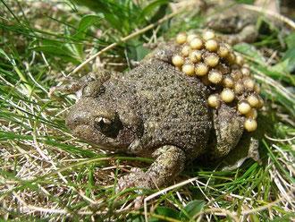 Vroedmeesterpad mannetje met eitjes.