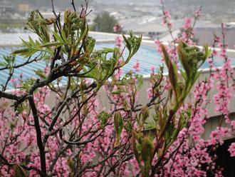 バラ科ナナカマド属の落葉樹です。