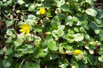 Scharbocks-Blüte
