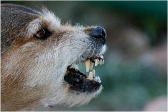 Cani problematici. Foto di un cane di razza corso con problemi di aggressività