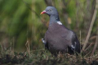 Pigeon ramier © Yann Février
