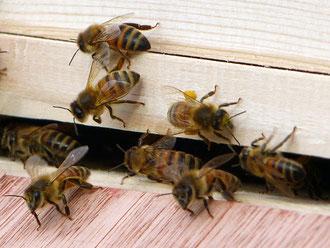 Bienen mit Pollenhöschen