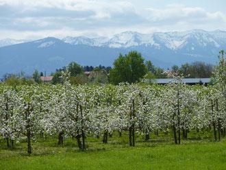 Blühende Obstbäume bei der Obstbauschule Schlachters