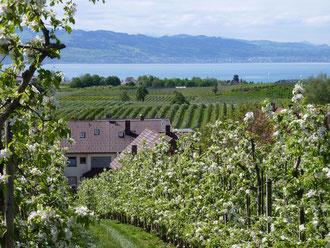 Obstanlagen am Bodensee