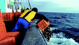 ホタテ稚貝の放流