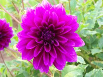 Rose Thalie