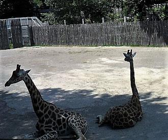 Жирафы в Римском зоопарке фото