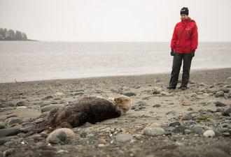 浜辺で発見されたウィフィン:ancouver Aquarium handout