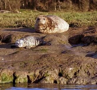 エルクホーン湿地帯で母親アザラシが子どもの世話をしている。今月初め撮影。5月にかけての出産シーズンの間、数十頭のラッコやアザラシの赤ちゃんを見ることができる。Photo courtesy of Giancarlo Thomae