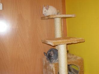 Un rascador de gato es un buen juguete para ellas.