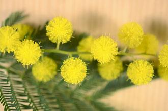 Acacia dealbalta