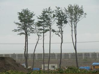 震災後に残った数本のクロマツとその向こうに望む巨大堤防