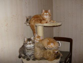 gattini Siberiani