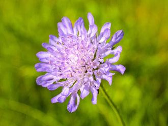 Eine blühende Flockenblume. - Foto: Kathy Büscher