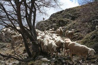 トランスマンツァ(羊の大移動)の様子 @モンテ・シビリーニ