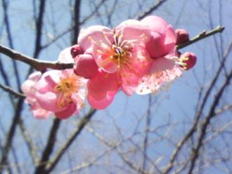 梅の花のアップ画像