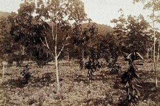 Plantation d'Hevea de Suoi Giao