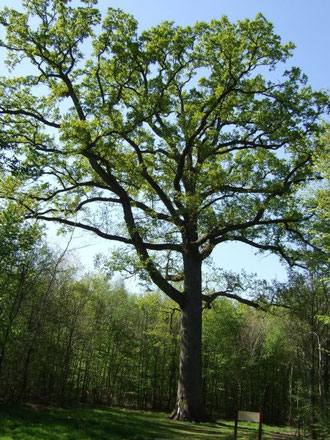 Le chêne Hippolyte, en forêt d'Andaine