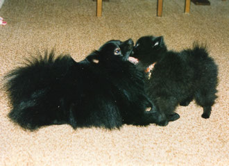 schwarze Kleinspitze vom-pommerle.jimdo.com
