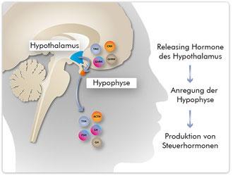 Die Steuerung der Hypophyse durch Releasing-Hormone des Hypothalamus