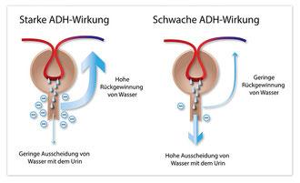 ADH reguliert, wieviel Wasser aus dem Primärharn zurückgewonnen wird