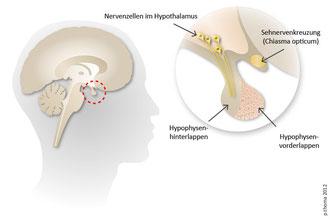 Lage der Hypophyse, Aufbau in Vorder- und Hinterlappen