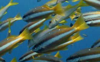 Línea lateral de los peces. Los receptores se encuentran internamente.