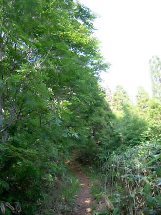 ポイントの尾根道。左の木立がブナ。