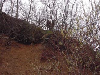 斜面にたたずむカモシカ