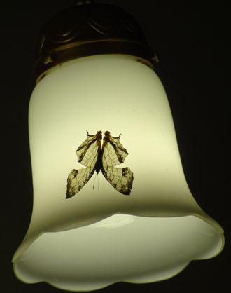 照明の傘に静止するイシガケチョウ。