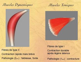 Muscles Dynamiques et Toniques