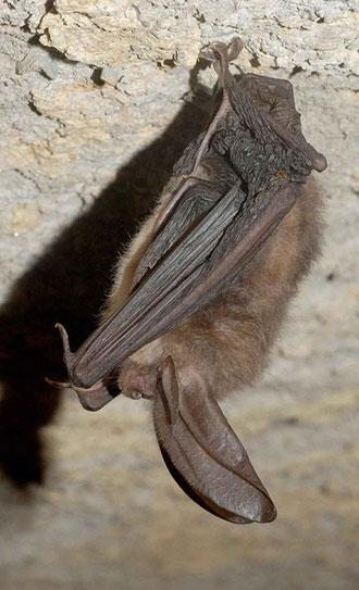 Bild: schlafende Fledermaus in ihrer Höhle
