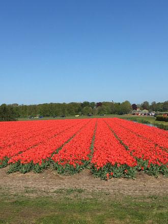 campo di tulipani rossi a Lisse, in Olanda