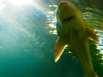 einen Riesen-Wels schwimmt direkt auf mich zu