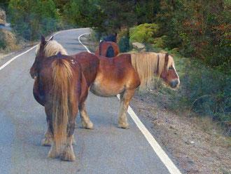 Haflinger Pferde die wild umherziehen