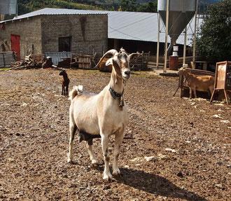 eitel und neugierig sind Ziegen auch in der Einsamkeit